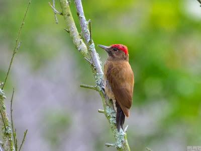 Smoky brown Woodpecker
