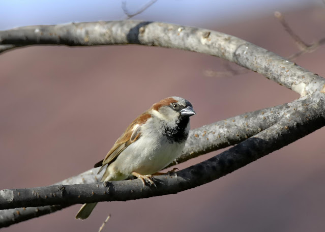 Study finds even the common house sparrow is declining