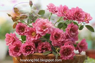 hoa hồng aoi là loại hoa hồng ngoại của nhật bản , hình ảnh hoa hồng aoi đẹp nhất