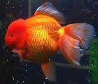 Jenis Ikan Koki Orando warna