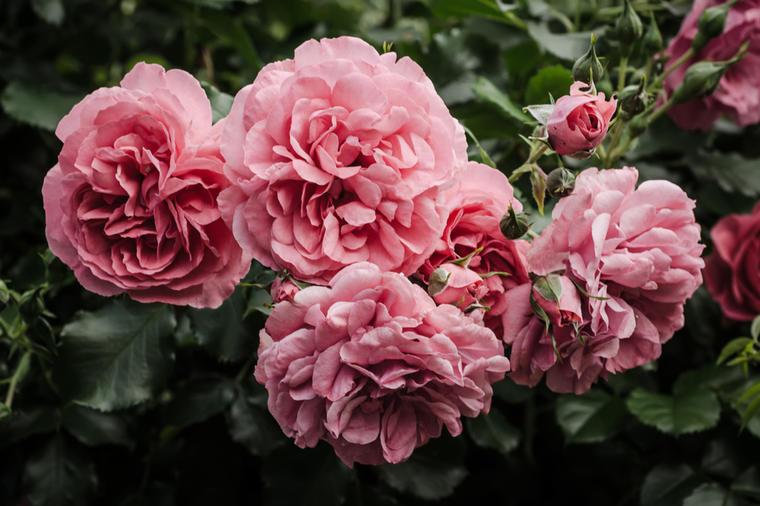 ruže-vrt-cvijeće
