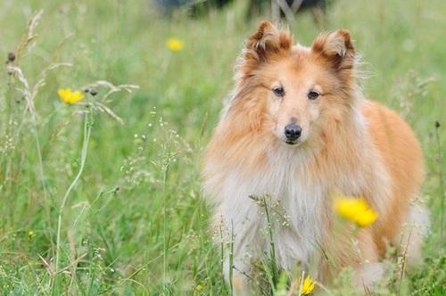 كلب الراعي الشتلندي