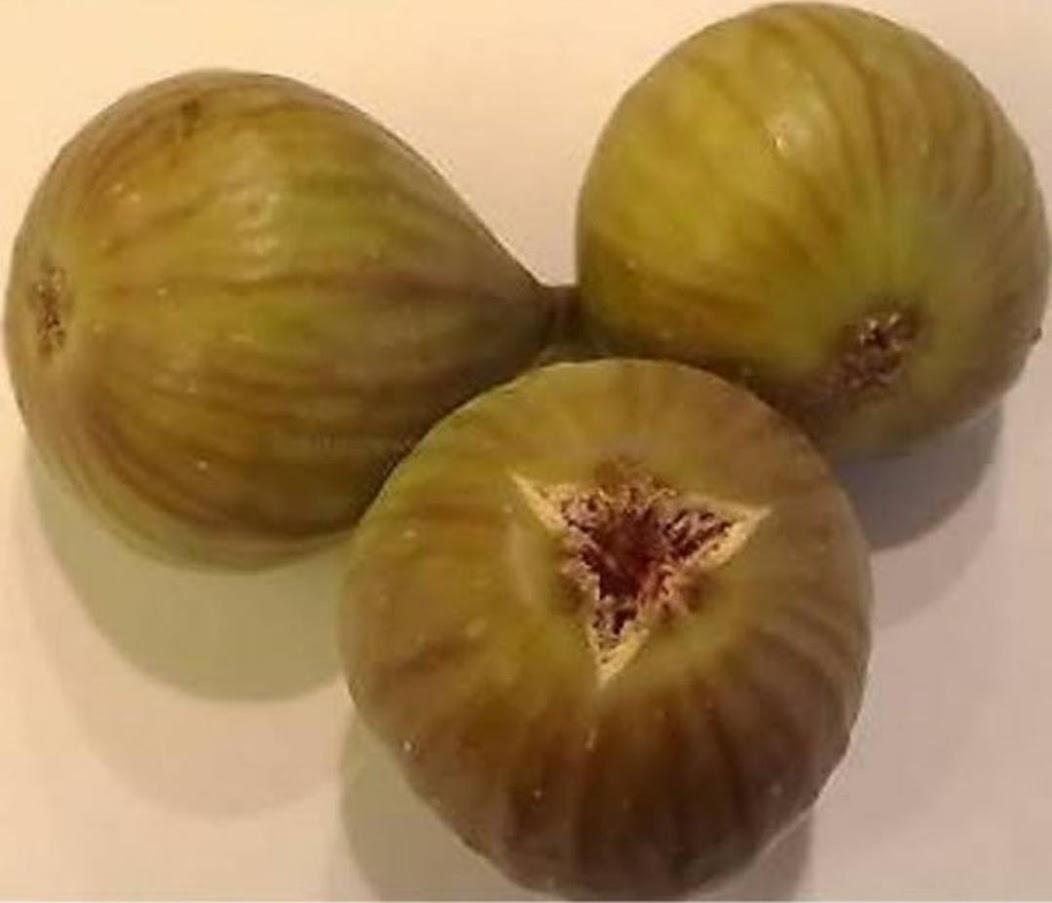 Bibit buah tin jenis ASALI fresh cangkok tin Maluku