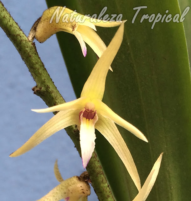Flor característica de la orquídea Estrellita, Eria javanica