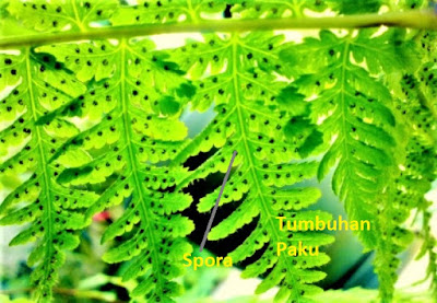 spora perkembangbiakan vegetatif tumbuhan