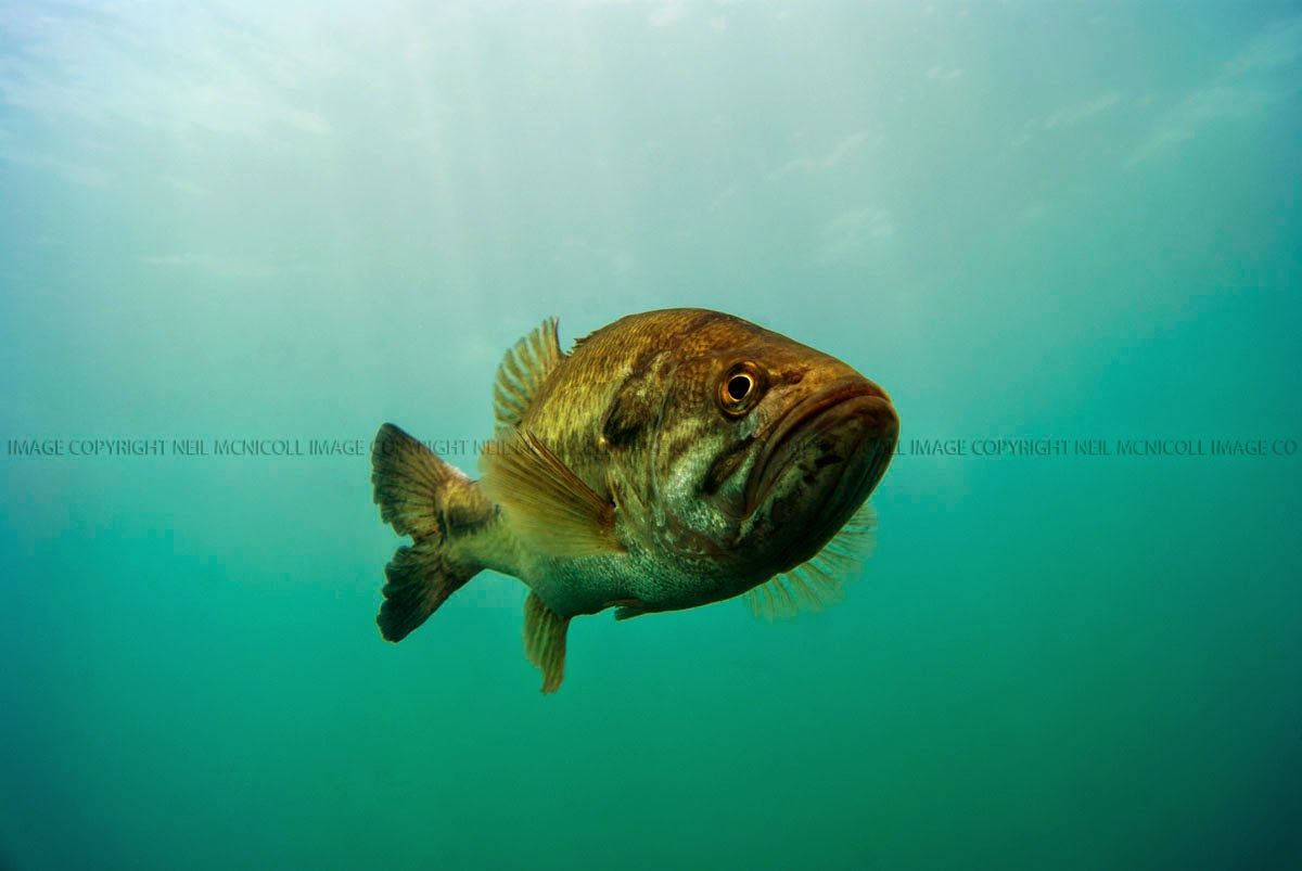 Freshwater gamefish