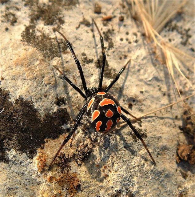 malmignatta ragno pericoloso