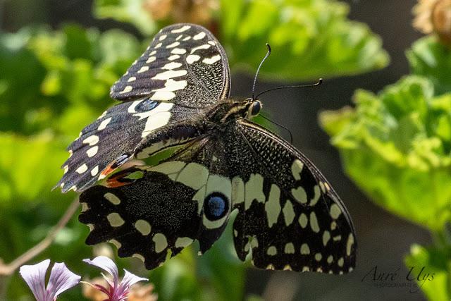 Citrus Swallowtail Butterfly in Flight Kirstenbosch