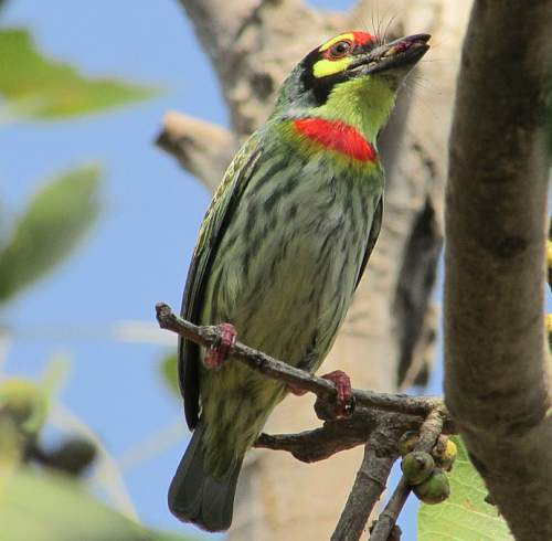 Birds of India - Photo of Coppersmith (crimson-breasted) barbet - Psilopogon haemacephalus