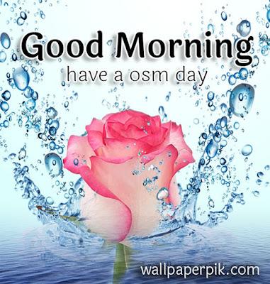 good morning rose flower with water splash download wallpaper