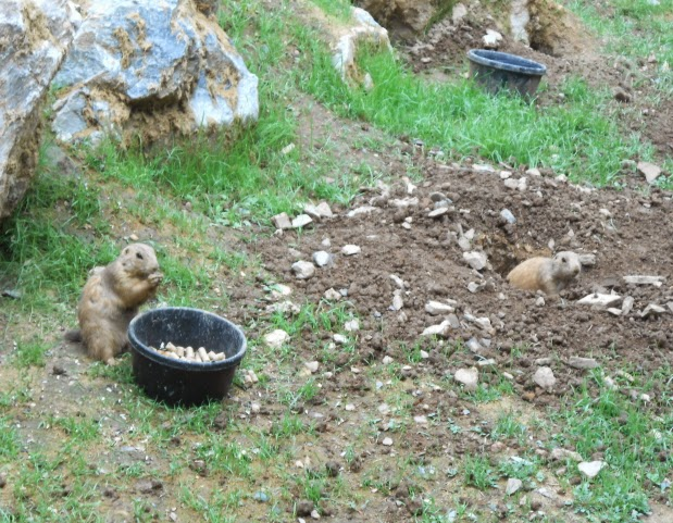 Prairie Dogs at ZooAmerica in Hershey