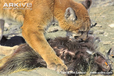 Cougar and Porcupine