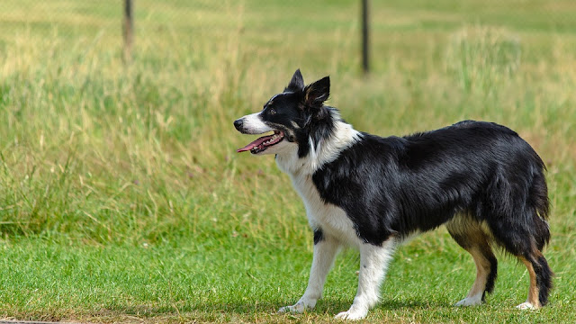 How to Take Care a Border Collie - RictasBlog