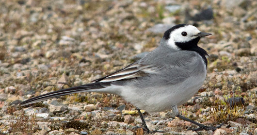 Spring Birding: The Quest for White Wagtail