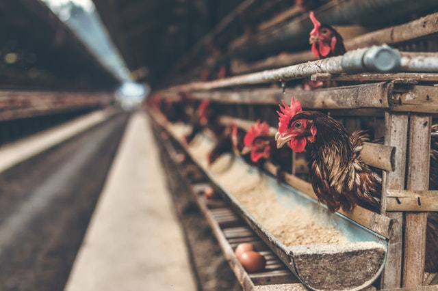 rooster-in-brown-wooden-coop
