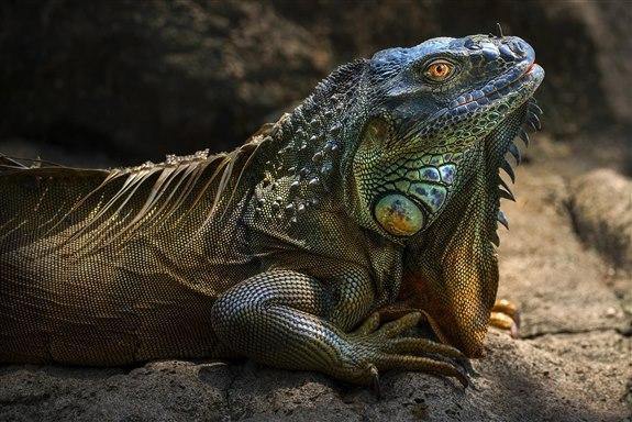 İguana - İ Harfi ile Hayvan İsimleri