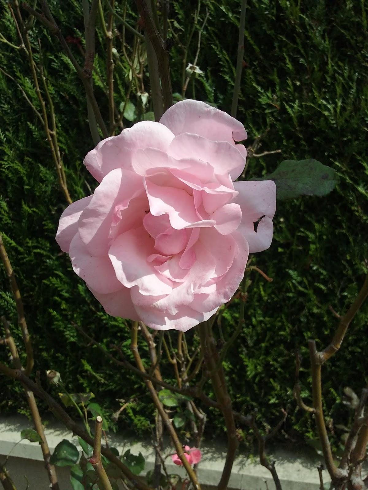 Rosier rose tercei 0918