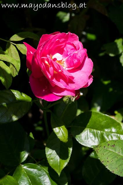 Rose Heimatmelodie