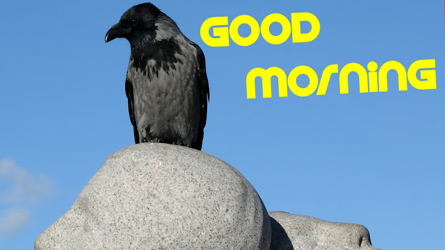 good morning images crow