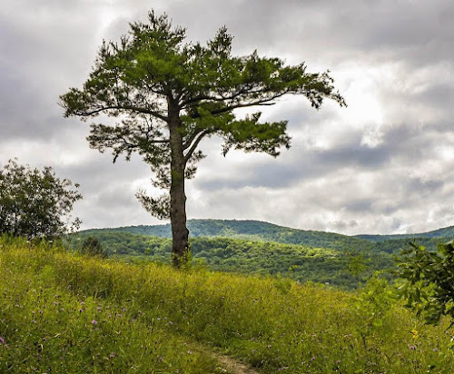 a lonely pine tree on the edge of a meadow in Taconic Mountains Ramble State Park in Vermont