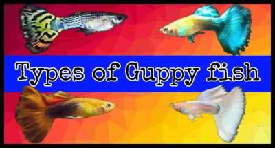 Types of Guppy fish