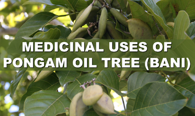 Pongam oil tree is among the most potent medicinal plant that is often featured in many health sites promoting a natural cure for common diseases. Being used in Ayurvedic medicine as one of the best natural remedies in India and other neighboring Asian countries, it has earned the trust of those who rely on herbs and natural remedies.  Advertisement        Sponsored Links     PONGAM OIL TREE (Pongamia Pinnata )  Bani is a tall tree that has smooth and wide leaves, and fragrant purple or white-colored flowers. Its seeds are enclosed in a hard shell. It often thrives and propagates near shores and nearby the lakes of Laguna.  WHAT ARE THE NUTRIENTS AND CHEMICALS THAT YOU CAN ACQUIRE FROM BANI?  Various chemicals can be acquired from Bani that can be used for medicinal purposes:  Bani contains a lot of chemicals such as emethoxy-kanugin, gamatay, glabrin, glabrosaponin, kaempferol, kanjone, kanugin, karangin, neoglabrin, pinnatin, pongamol, pongapin, quercitin, saponin, b-sitosterol and tannin.  Pongam oil can be acquired from the seeds. The oil contains myristic, palmitic, stearic, arachidic, lignoceric, dihydroxy stearic, linolenic, linoleic, and oleic acids.  WHAT PARTS OF BANI CAN BE USED AS MEDICINE AND HOW DO YOU UTILIZE IT?  Certain parts of Bani can be used as a medicine such as:  The Seeds.  The seeds can be reduced as an oil. the oil is often applied directly to the skin.   The Roots.  Roots can be boiled or minced and applied to affected parts of the skin.  The Bark. It can be boiled . can be applied or ingested  The Leaves.  The leaves can be ingested or applied to the skin.  WHAT ARE THE AILMENTS THAT BANI CAN CURE?  1. Rheumatism.  Drink a tea made up of Bani leaves or soak your problem ares in a basin with water and minced Bani leaves.  2. Dyspepsia.  Drink Bani tea.  3. Bed sores.  Bathe with water infused with Bani leaves  4. Hemorrhoids.  Pulverize the leaves and apply it to the problem area.  5. Eczema.  Apply oil to the affected areas on the skin .  6. Tinea versicolor.  Apply oil to affected areas on the skin.  7. Scabies.  Apply oil to affected areas on the skin.  8. Cough.  Ingest Bani tea. READ MORE:  Find Out Which Country Has The Fastest Internet Speed Using This Interactive Map      Find Out Which Is The Best Broadband Connection In The Philippines   Best Free Video Calling/Messaging Apps Of 2018    Modern Immigration Electronic Gates Now At NAIA    ASEAN Promotes People Mobility Across The Region    You Too Can Earn As Much As P131K From SSS Flexi Fund Investment    Survey: 8 Out of 10 OFWS Are Not Saving Their Money For Retirement    Can A Virgin Birth Be Possible At This Millennial Age?    Dubai OFW Lost His Dreams To A Scammer    Support And Protection Of The OFWs, Still PRRD's Priority