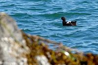 Pigeon Guillemot off Flagstaff Island