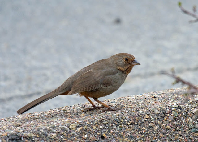San Diego, California Backyard bird: California Towhee