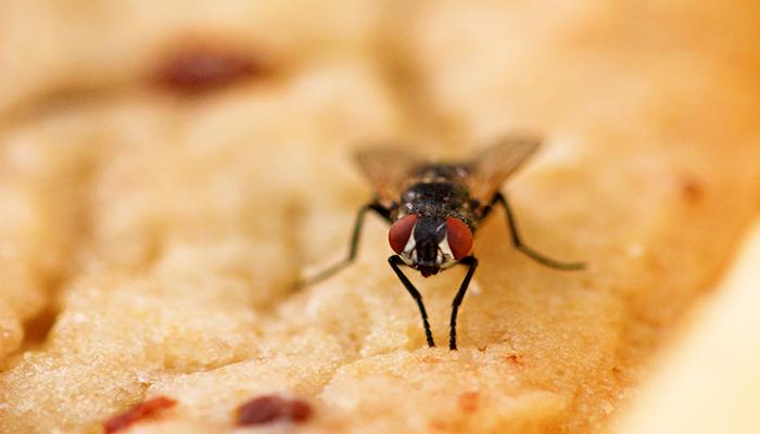 Cara mengusir lalat
