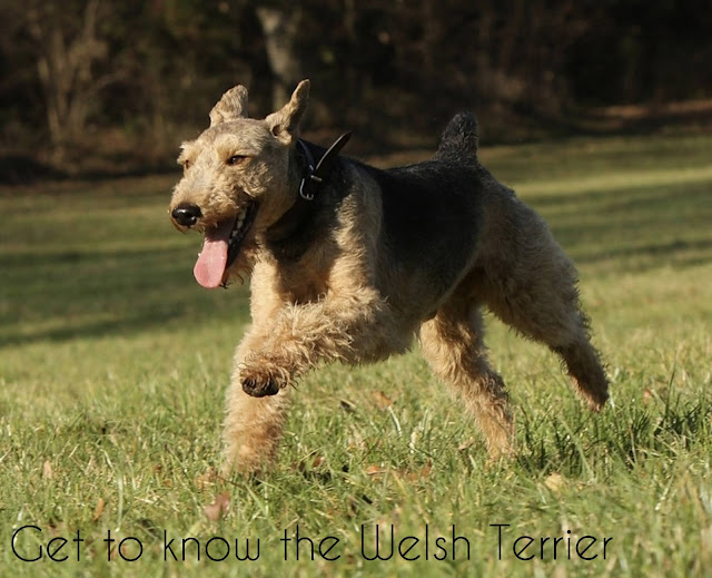 welsh terrier adoption