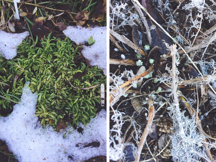 Ice Plant and Wormwood starting to wake up from the winter freeze // Zone 6 & 7 Garden Tasks for February // www.thejoyblog.net