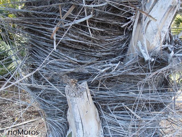 Estípite de PALMERA DEL AZÚCAR Arenga pinnata