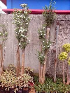 Harga jual pohon bonsai melati jasmin harga paling murah