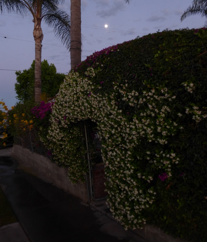 moon flowers and the moon