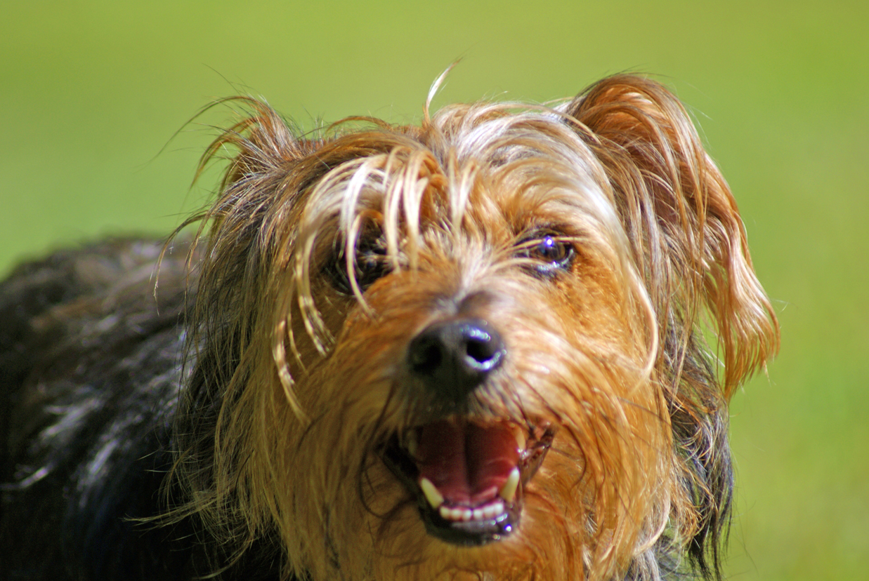Yorkshire Terrier | The Life of Animals