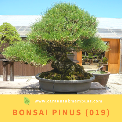 Bonsai Pinus (019)
