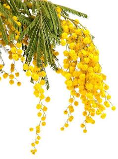 Gambar Bunga Akasia yang Indah 17
