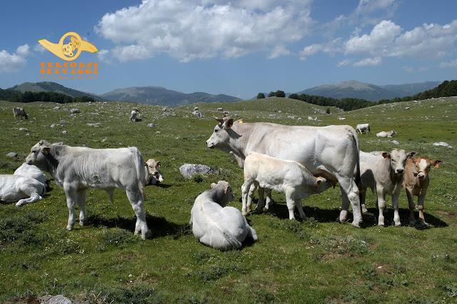 vacche campo rotondo