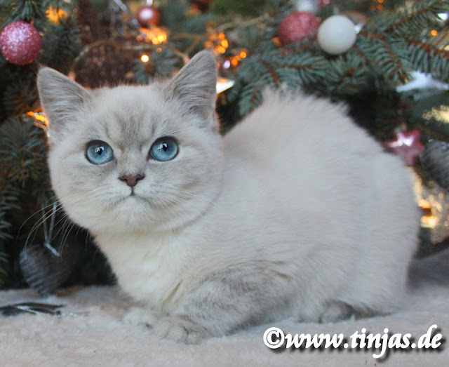 Britisch Kurzhaar Katzenbaby blue golden tabby point