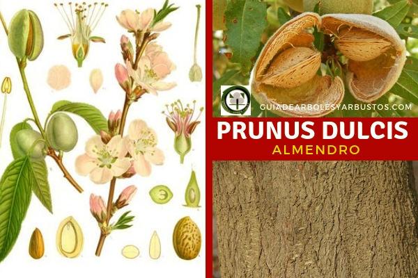 Almendro, Prunus dulcis árbol de la familia Rosaceae con 2 tipos de pies las dulces y las amarga