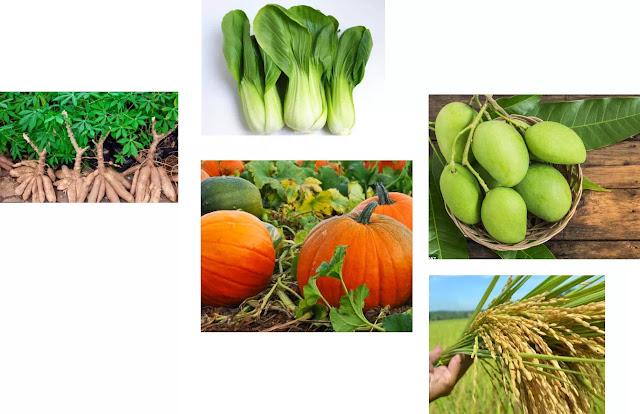 Contoh Produsen Mangga, Sawi, Singkong, Labu, padi produsen beras