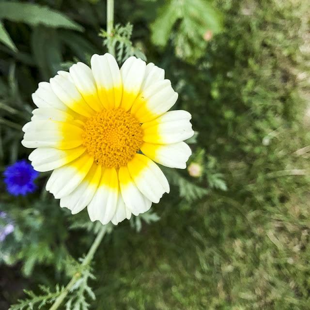 gulvit-blomma
