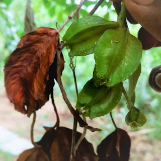 Arjun (Terminalia Arjuna) fruit Herbal Arcade