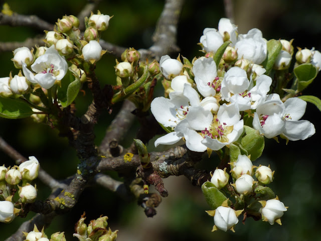 Pear Tree Blossom April