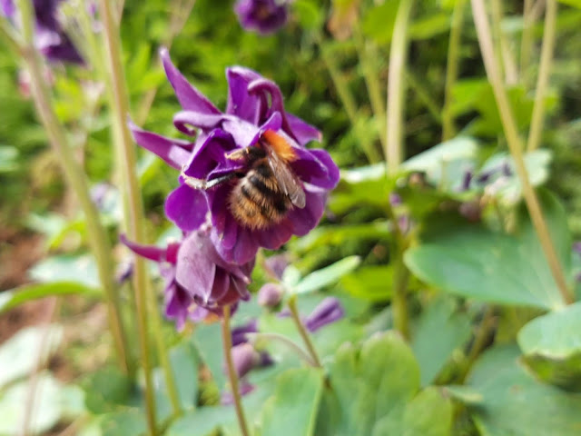 Aquilegia vulgaris with bee