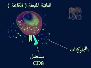 تركيب الجهاز المناعى - الخلايا الليمفاوية - الخلايا التائية - التائية الكابحة أو المثبطة