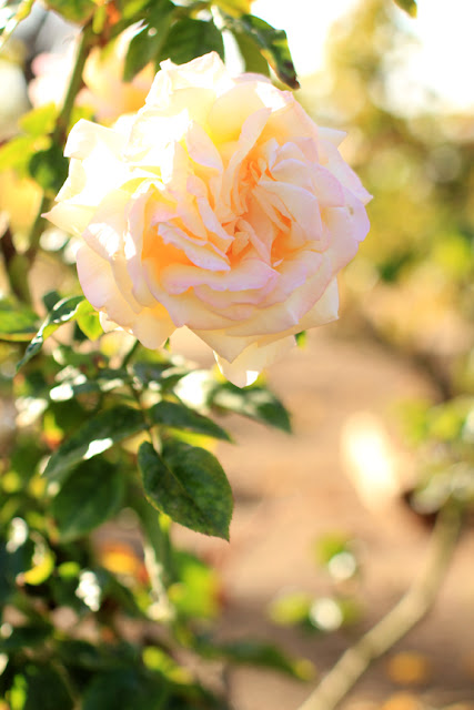 Yellow and Pink Rose - Flower Photography by Mademoiselle Mermaid