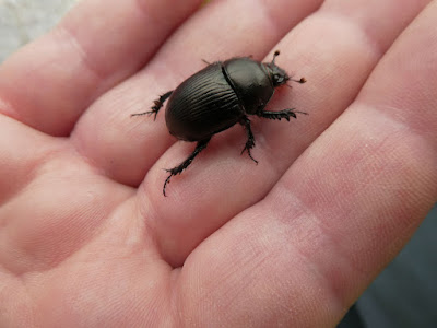 Daughter Jill found this chap. No beetles were harmed...