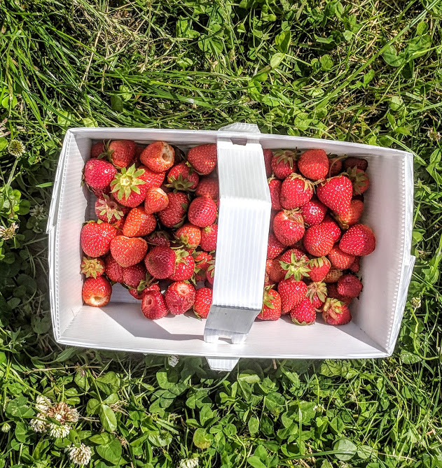 A Guide to Strawberry Picking at Brocksbushes in Northumberland - punnet of strawberries