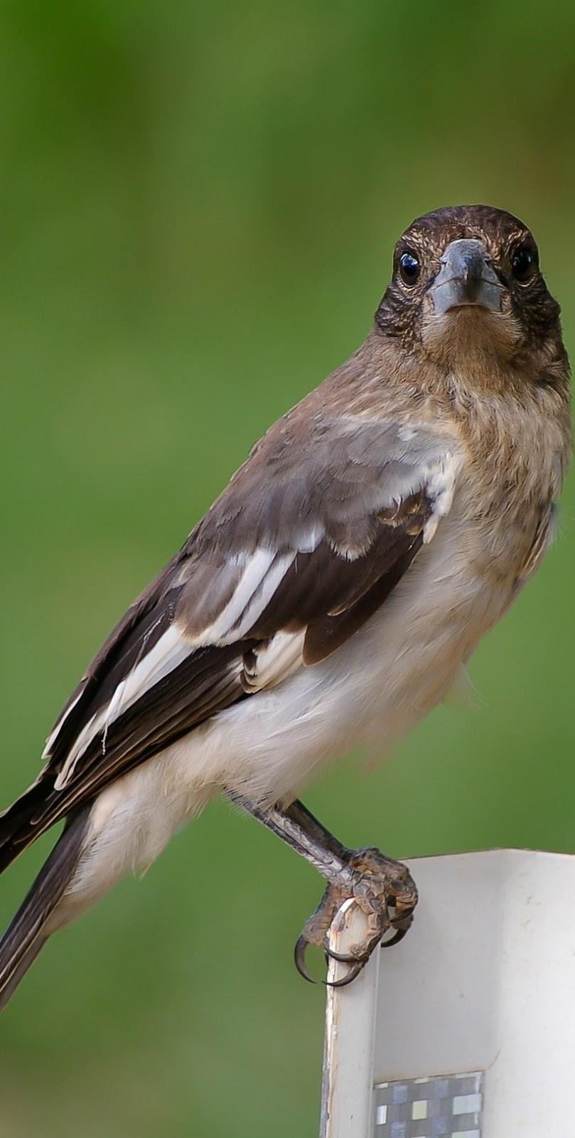 A  pied butcherbird up close.